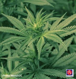 marijuanaleavesbyMarkFCC