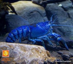 BA2_lobsterblueNilaSivatheesanFCC
